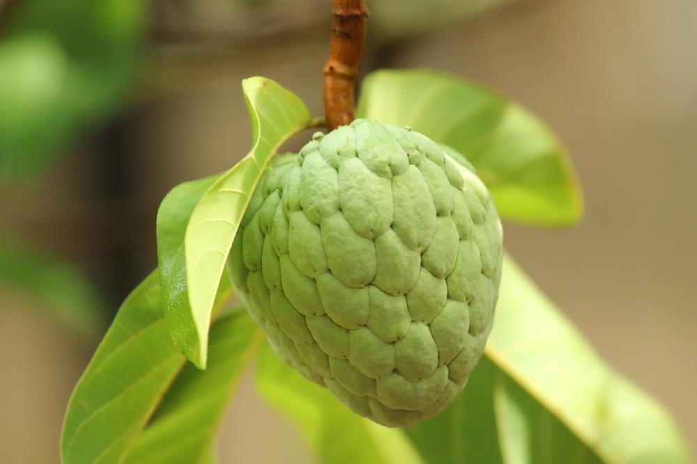 sugar-apple-tree-annona-squamosa-5-seeds-small-unique-2880-p