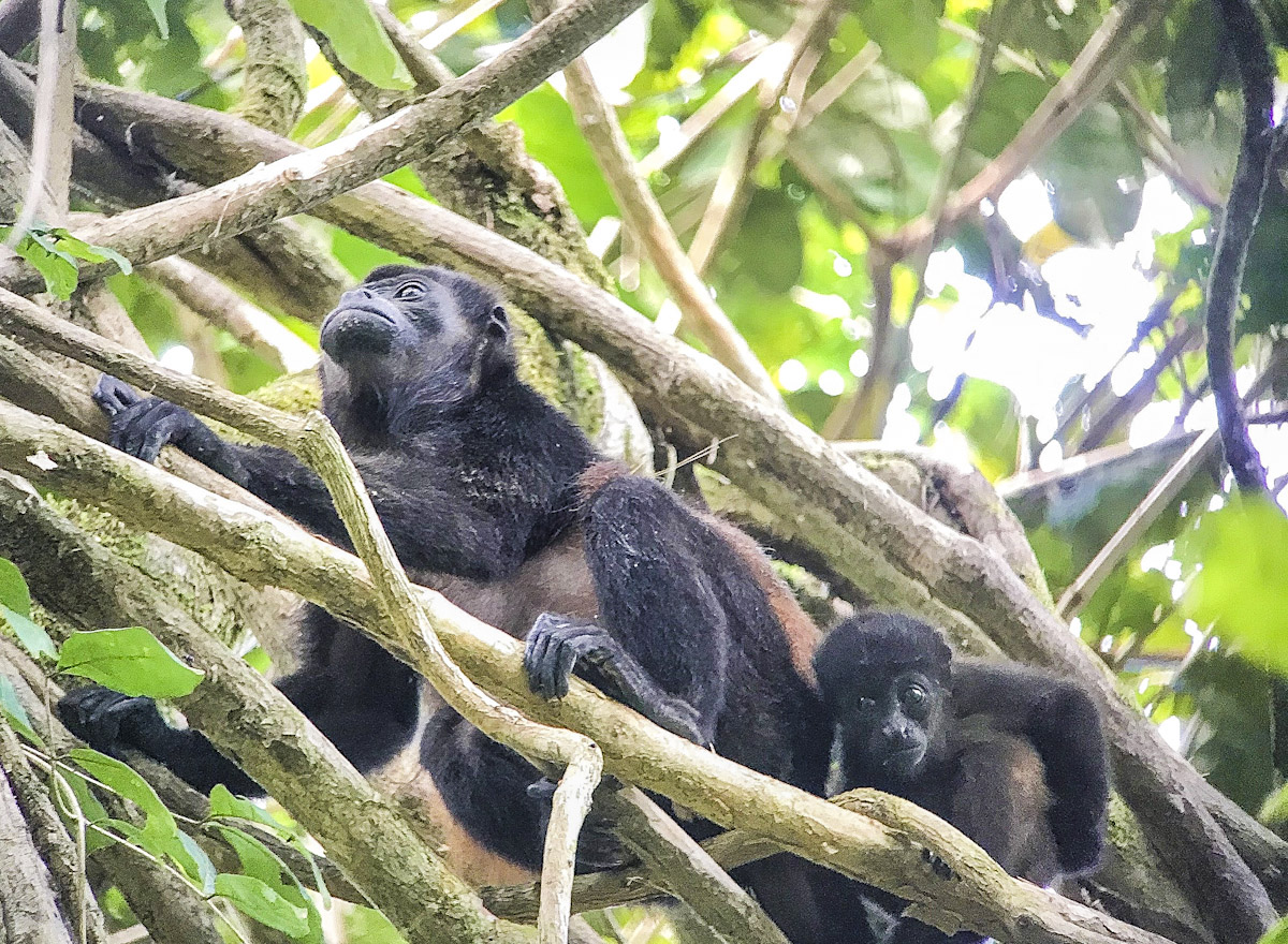 WEB_howler monkey