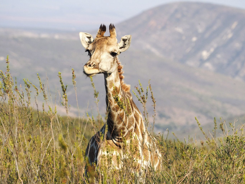 WEB_Giraffe-1