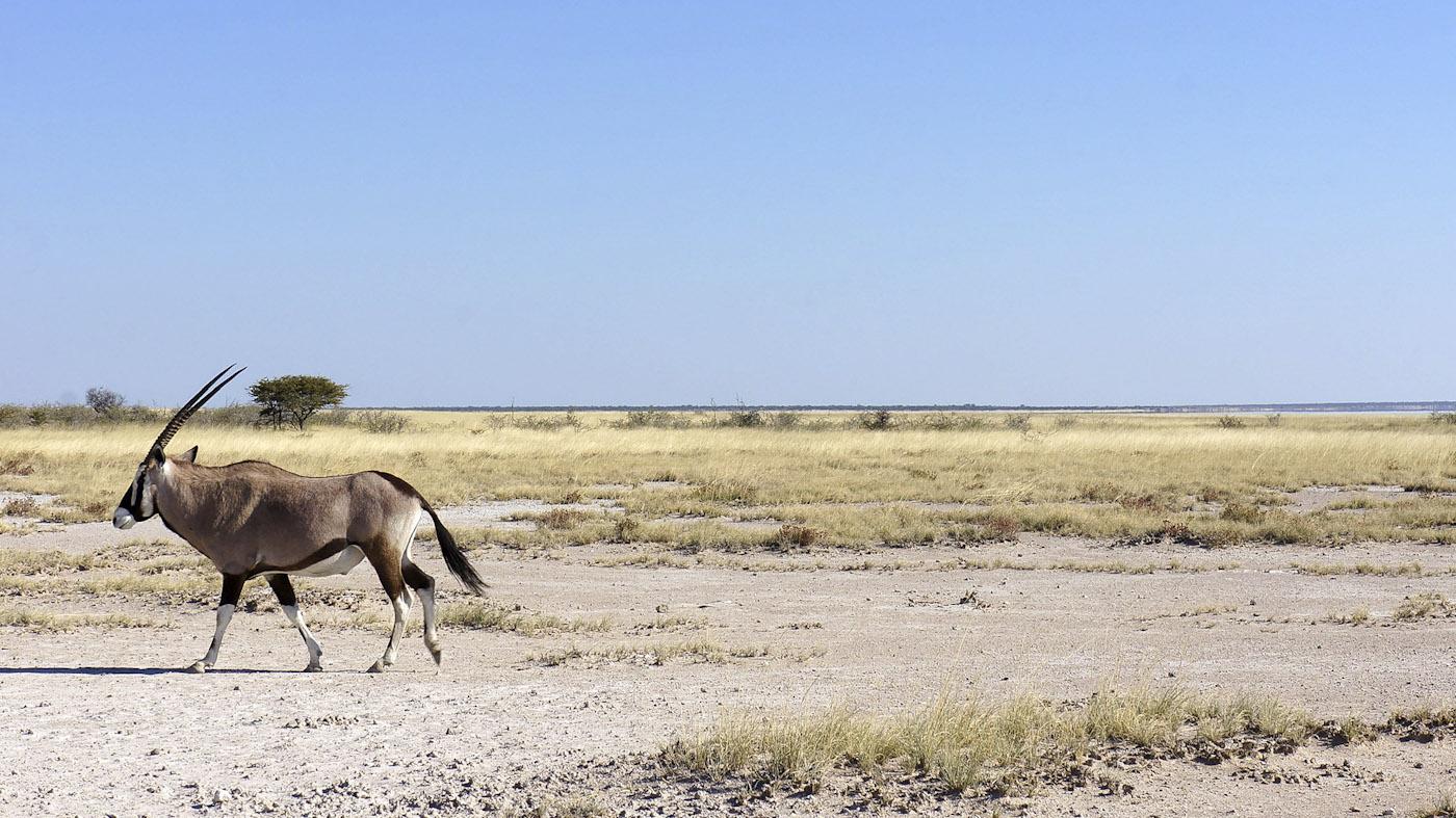 WEB_Oryx-in-Etosha-NP