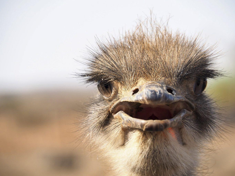 WEB_Ostrich-1