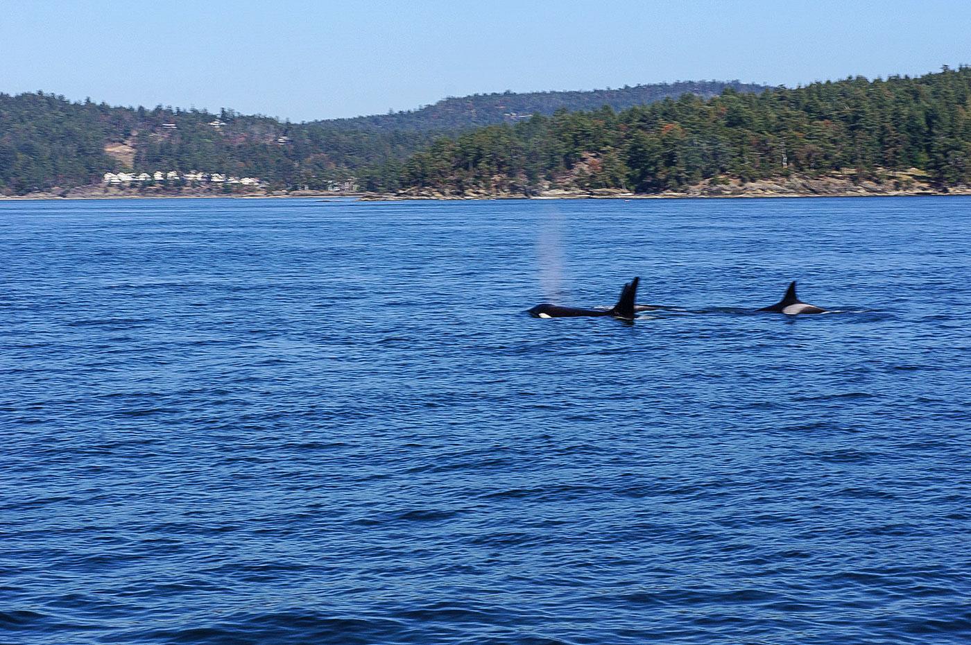 diariesof-canada-Orcas