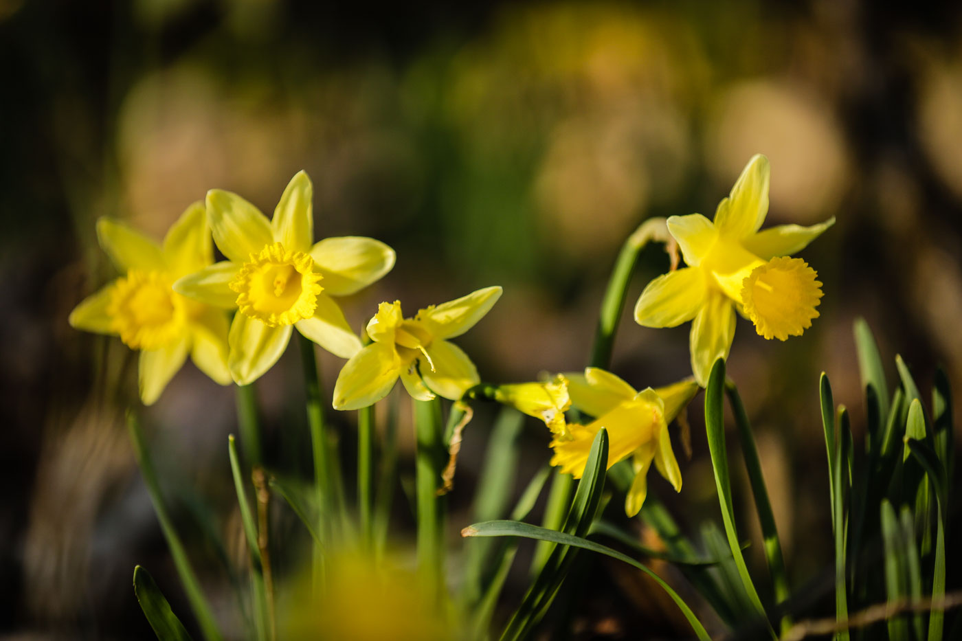 diariesof-daffodils-forest-lellingen-luxembourg-9770