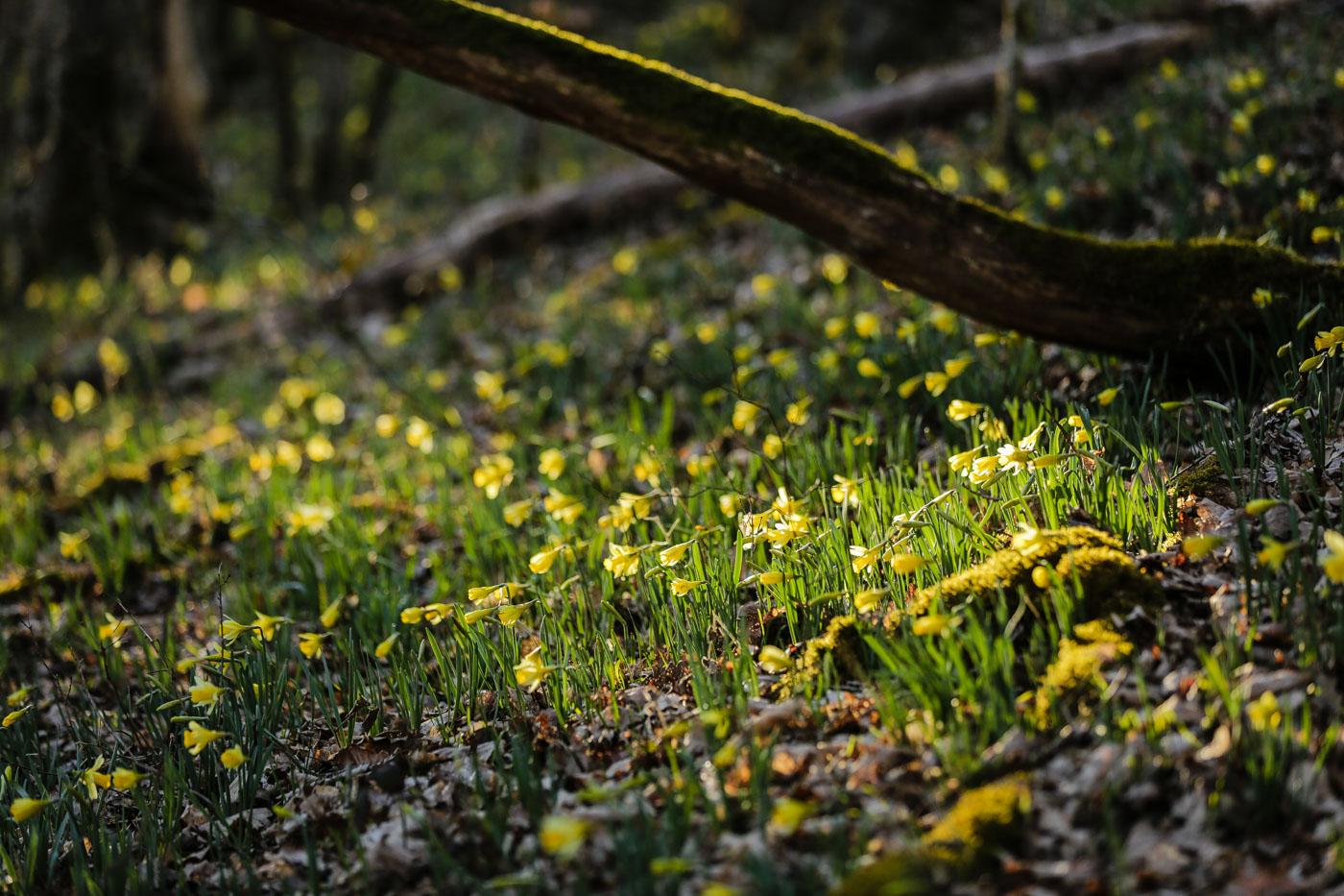 diariesof-daffodils-forest-lellingen-luxembourg-9801