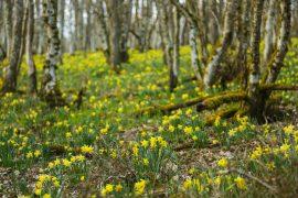diariesof-daffodils-forest-lellingen-luxembourg-9889