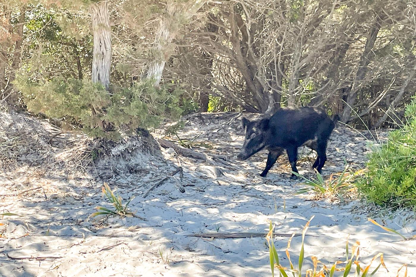 web-Wild-boar-on-Isola-Budelli